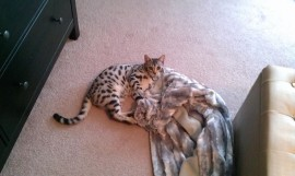 This is Theo a stunning silver spotted boy from Mira and Frosty. Here he is snuggling with his blanket in his new home with Kelly in Texas USA.