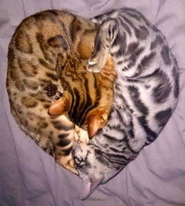 This is Inca and Arnold making a perfect cat heart! Arnold is a beautiful silver rosetted son of Rajah. Thanks to Ian for this wonderful picture.