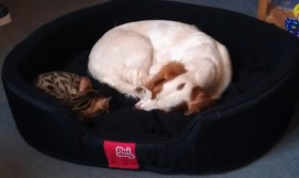 Lyra, a gold spotted kitten from Frosty and Luna, curled up with Abigail the Cocker Spaniel. The best of friends and living with historical novelist Manda Scott. Bengals get on extremely well with dogs.