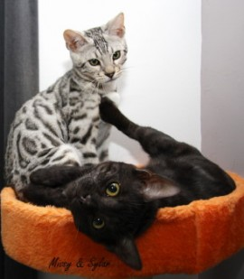 Sylar, a silver male, and Missy, a melanistic female, are now living in Holland as breeding cats at MyJade Cattery.
