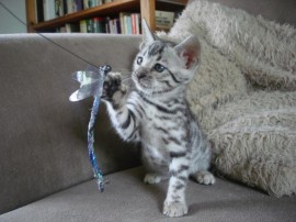 Pixie as a kitten playing with her dragonfly toy. Bengals love these beautiful realistic toys.