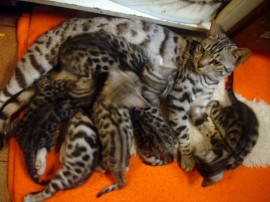 This is Princess with her first litter of kittens to Baloo. India and Pixie my two silver queens are in there somewhere!