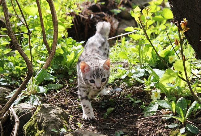 silver kittens 006