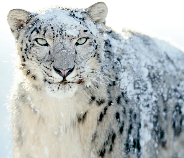 We are partnered with The Snow Leopard Trust