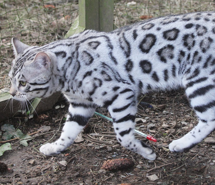 We breed quality kittens in snow leopard prints                                   click to read more