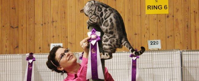 RW SGCH Silverstorm The Maharajahs Cat - Coontica  cat show 4