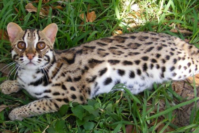 Charcoal bengal cat size