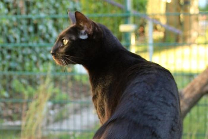 A beautiful black kitten with a sweet cougar c amp i - 3 part 2