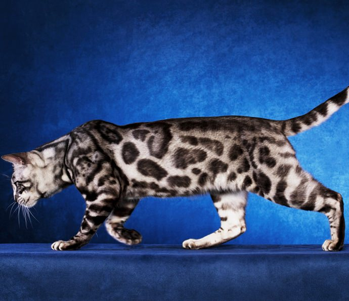 REGIONAL WINNER SUPREME GRAND CHAMPION SILVERSTORM THE MAHARAJAHS CAT
