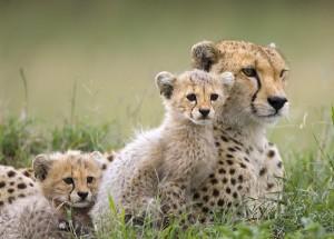 Silverstorm Cheetahs