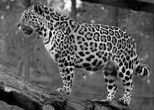 Silverstorm Jaguar