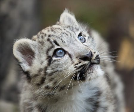 Snow leopards with blue eyes