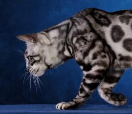 Silverstorm The Maharajahs Cat (2)