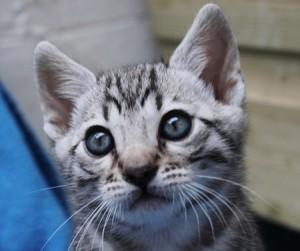 Silverstorm kitten