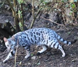 Silverstorm Bengal Cat